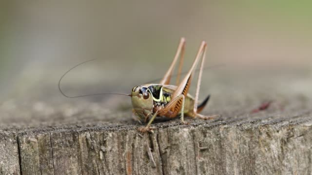 a beautiful roesel's bush-cricket, metrioptera roeselii, perching on a wooden fence post. - animal antenna stock videos & royalty-free footage