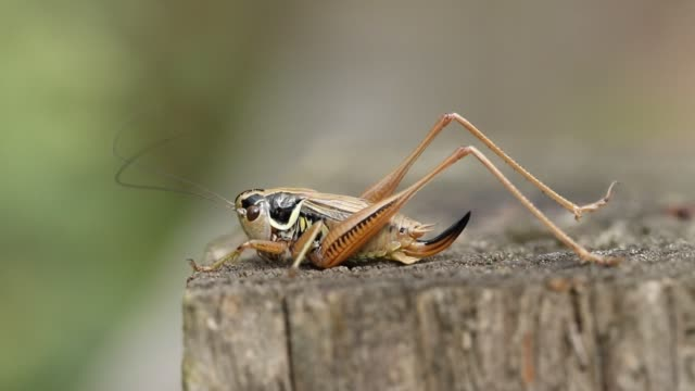 a beautiful roesel's bush-cricket, metrioptera roeselii, perching on a wooden fence post. - cricket insect stock videos and b-roll footage