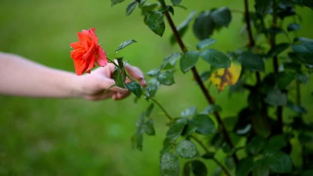 beautiful rose - pruning stock videos & royalty-free footage