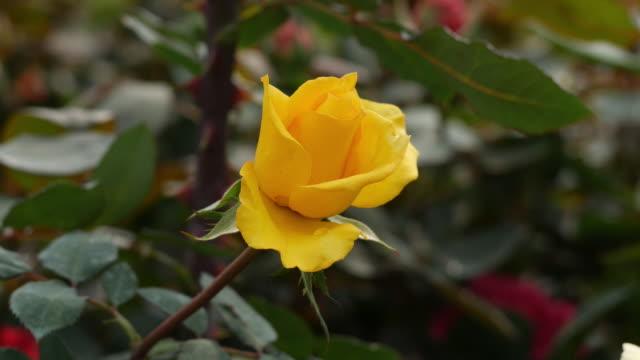 美しいバラ園ローズ - flower head点の映像素材/bロール