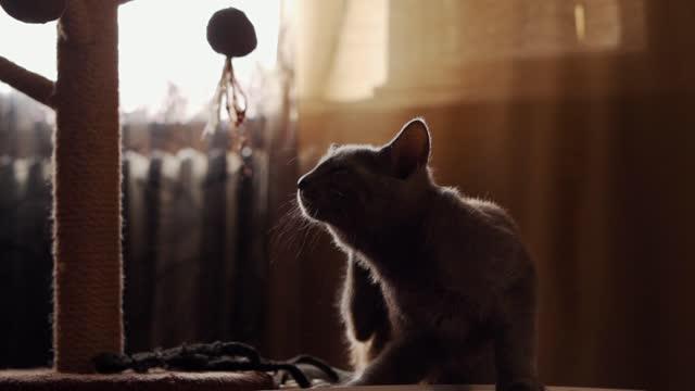 vídeos de stock, filmes e b-roll de linda gata azul russa sentada em um banquinho e coçando-se - arranhado