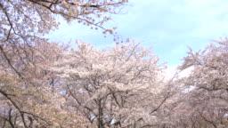 Beautiful Sakura, cherry blossoms, spring in tokyo Japan