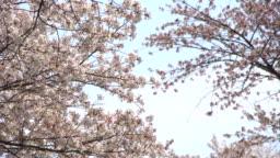 Beautiful Sakura, cherry blossoms, spring