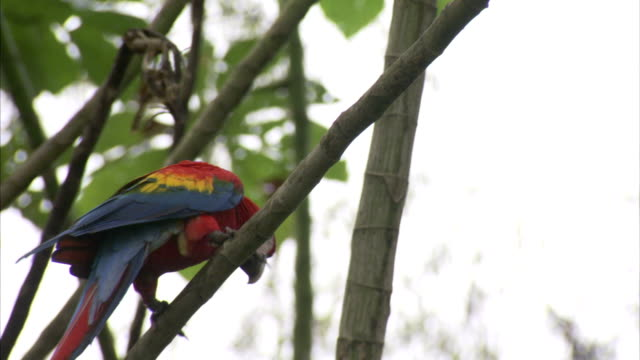 a beautiful, scarlet macaw inches across a slender tree limb. - macaw stock videos & royalty-free footage