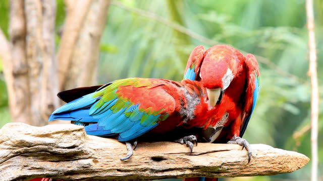 beautiful scarlet macaw - beak stock videos & royalty-free footage