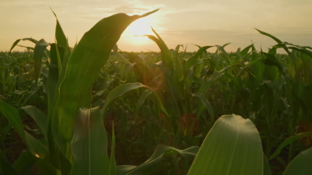 vídeos de stock, filmes e b-roll de ds tiro bonito de plantas de milho novas no campo no por do sol - ensolarado