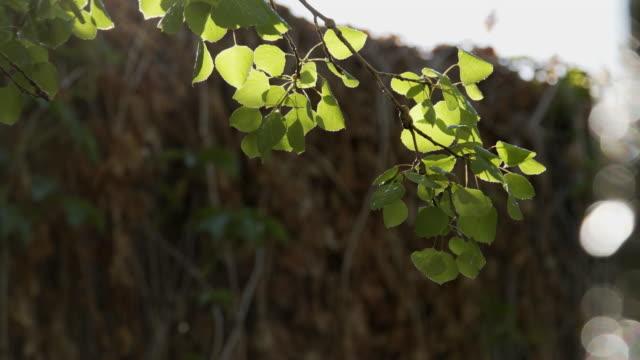 stockvideo's en b-roll-footage met mooie slow motion achtergrond bewegende handheld shot van een gezonde groene aspen boom bij zonsopgang op een clear blue sky heldere zonnige dag buitenshuis in de high elevation rocky mountains van colorado - sunny