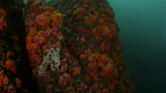 beautiful soft coral colony on a undersea rock in taiwan - soft coral stock videos & royalty-free footage