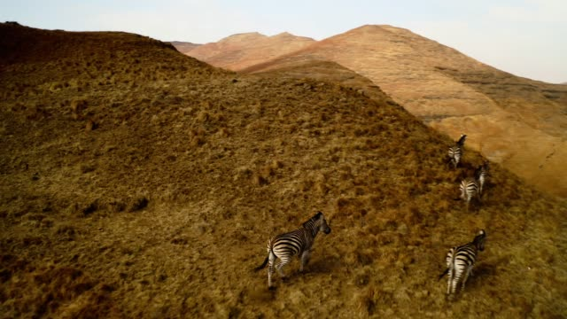 beautiful south africa-zebras - living organism stock videos & royalty-free footage