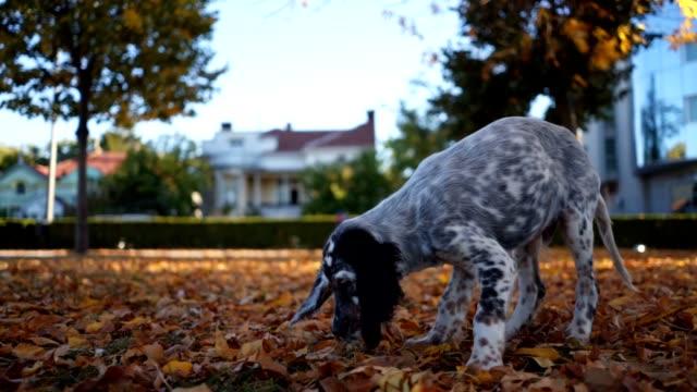 vídeos y material grabado en eventos de stock de hermoso perro manchado olfateando caído hojas en un parque - perro cazador