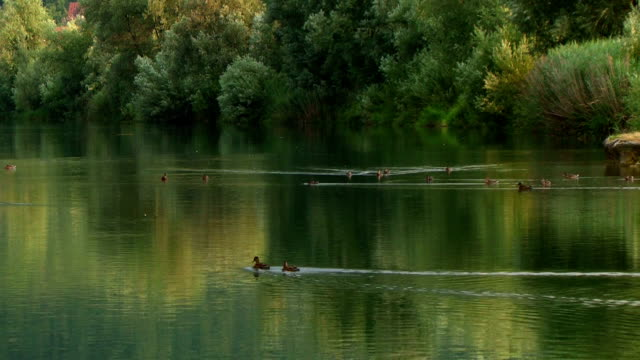 vídeos de stock, filmes e b-roll de lago de linda primavera com par de patos - cabelo verde