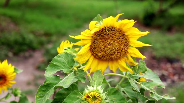 beautiful sunflower swaying through wind - common sunflower stock videos & royalty-free footage