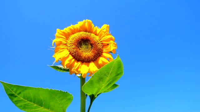beautiful sunflower - common sunflower stock videos & royalty-free footage