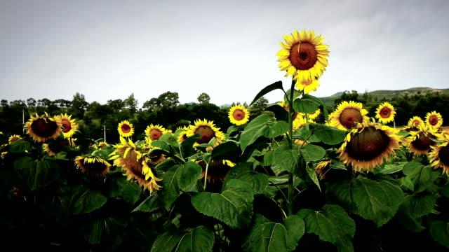 Beautiful sunflowers field in soft wind.