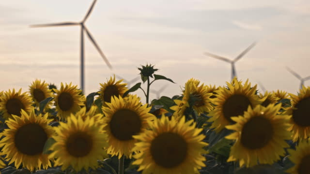 beautiful sunflowers in agricultural field with wind turbine at sunset - generator stock videos & royalty-free footage