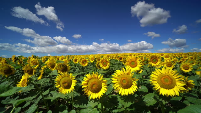 beautiful sunflowers with cumulus clouds - sunflower stock videos & royalty-free footage