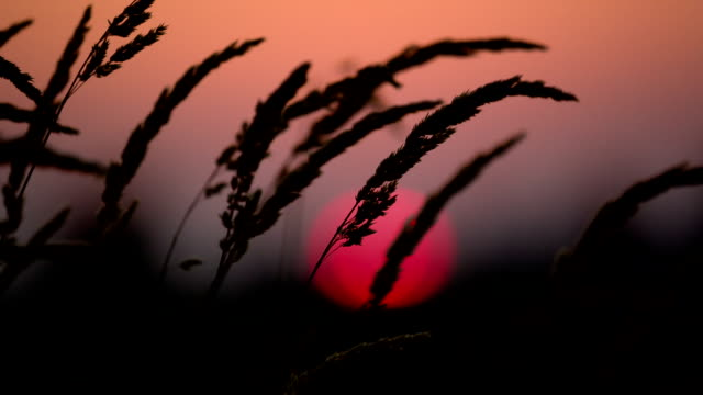 beautiful sunset and tall grass - telephoto lens stock videos and b-roll footage
