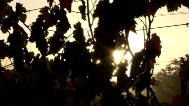 beautiful sunset on napa's vineyard - cabernet sauvignon grape stock videos and b-roll footage