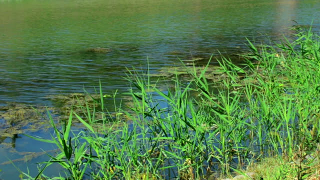 beautiful swamp in summer - standing water mosquito stock videos & royalty-free footage