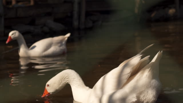 beautiful swan drinking water in zoo - mute swan stock videos & royalty-free footage