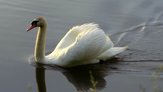 A beautiful swan flying on the lake