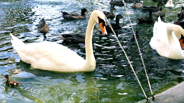 白鳥や美しいアヒル池の庭園 - 白鳥の子点の映像素材/bロール