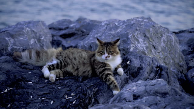 美しいタビー猫はイスタンブールの海のそばの岩の上に横たわっている - イスタンブール点の映像素材/bロール