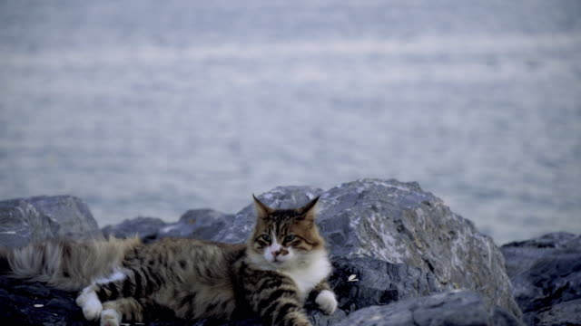 beautiful tabby cat is laying down on rocks beside the sea at istanbul - istanbul stock videos & royalty-free footage