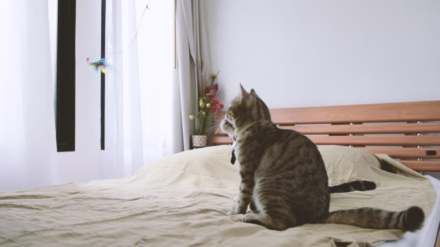 beautiful tabby cat playing colourful feather on bed in white bedroom - lying down stock videos & royalty-free footage