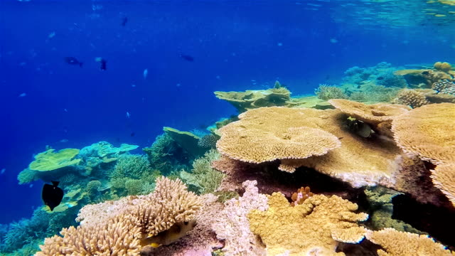 Beautiful table corals on Maldives - South Ari Atoll