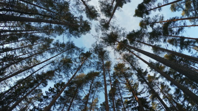 beautiful tall trees forest from below view. - svezia video stock e b–roll