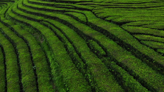 beautiful tea fields formations from drone point of view. - atlantikinseln stock-videos und b-roll-filmmaterial