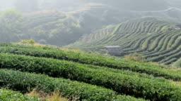 beautiful tea garden on mountains