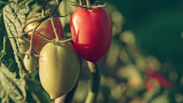 beautiful tomatoes on the bush. back yard garden - ascorbic acid stock videos and b-roll footage