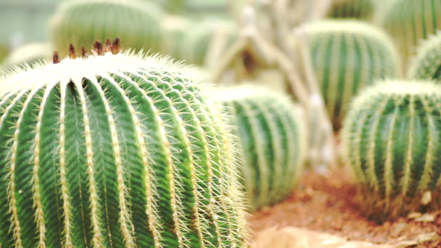 beautiful tropical cactus plantation in the botanical garden on sunny day. - golden barrel cactus stock videos & royalty-free footage