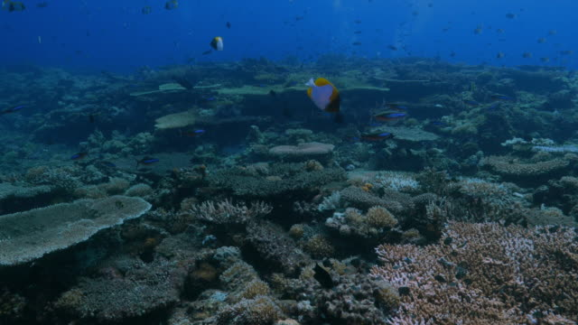 beautiful tropical coral reef undersea in philippines - hemitaurichthys polylepis stock videos and b-roll footage
