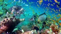 Beautiful Tropical Lion-Fish