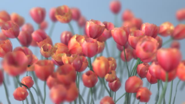 Beautiful Tulips Loop  016C