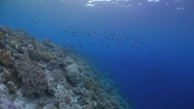 Beautiful undersea cliff with coral and Triggerfish