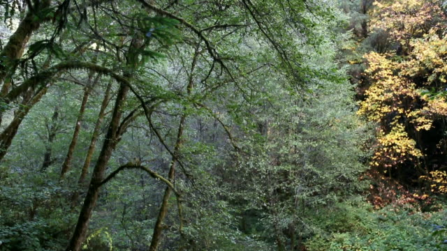 beautiful view of mysterious, lush moss covered forest and stream. - alder tree stock videos & royalty-free footage