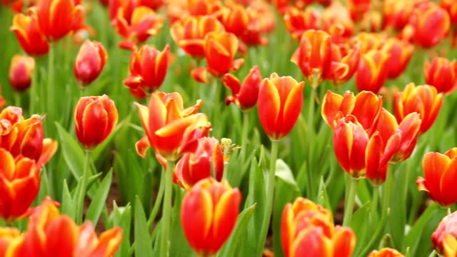 beautiful view of red tulips - plant bulb stock videos & royalty-free footage