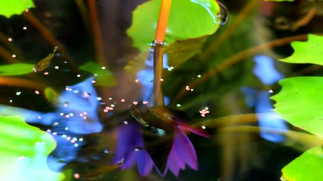 美しい水ユリと魚 - 胡坐点の映像素材/bロール