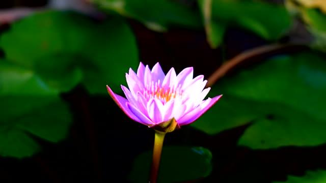 stockvideo's en b-roll-footage met prachtige waterlelie - lotuspositie