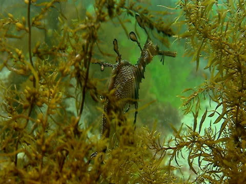 a beautiful weedy seadragon drifts behind an aquatic plant. - aquatic plant stock videos & royalty-free footage