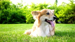beautiful welsh corgi fluffy sitting on a green lawn
