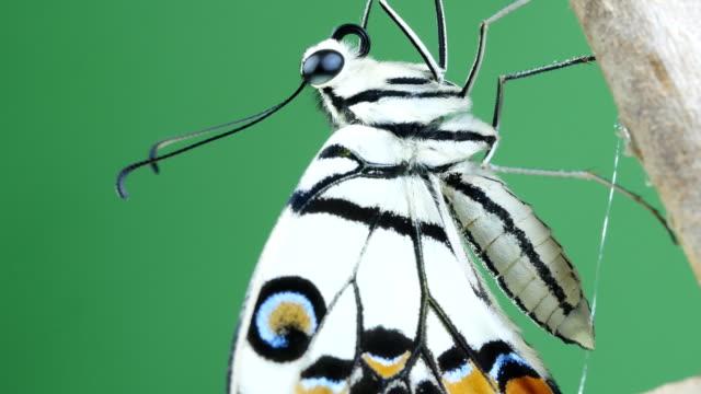 schöne weiße schmetterling nahaufnahme grün hintergrund - tierflügel stock-videos und b-roll-filmmaterial
