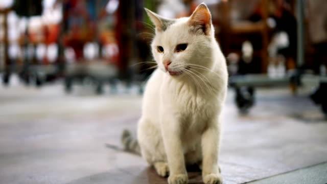 美しい白の猫