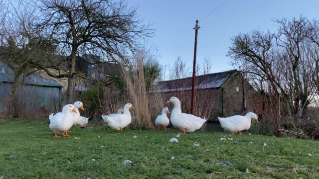 beautiful white ducks at caudwells mill, grade ii listed historic water power mill, rowsley, peak district, derbyshire, england, united kingdom, europe - medium group of animals stock videos & royalty-free footage