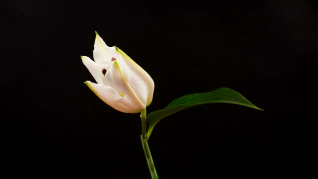 Beautiful White Lily Time Lapse