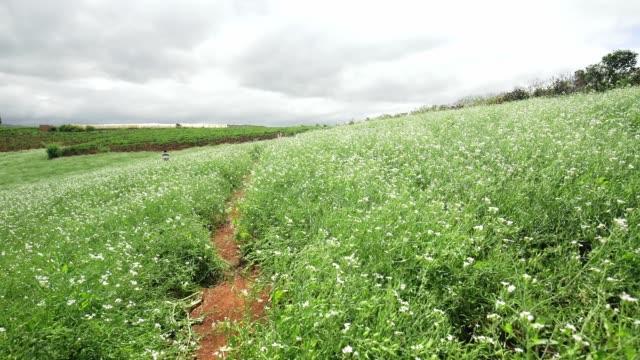 vídeos de stock e filmes b-roll de beautiful white mustard flowers field on the hillside - modificação genética